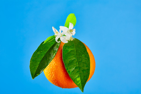 orange blossom: Oranges with orange blossom flowers in spring on blue background Stock Photo