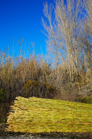 harmless: River green cane harvest texture pattern background in Valencia Parc de Turia of Spain