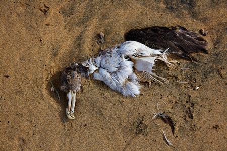 cadaver: Dead sea bird seagull half buried in beach sand in Canary Islands Stock Photo
