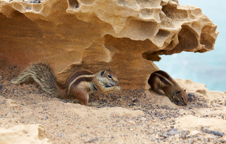Fuerteventura squirrels at Canary Islands of Spain