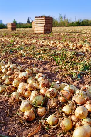 cebollas: Cosecha de la cebolla en el campo de huerta, Valencia, España Foto de archivo