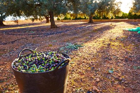 paisaje mediterraneo: Aceitunas de la cosecha recogida en la cesta agricultor al Mediterráneo Foto de archivo