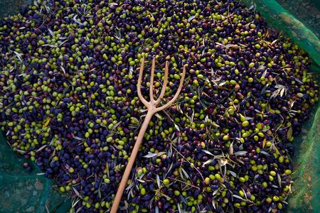 aceite de oliva: Aceitunas textura en la cosecha de la cosecha con la red y tenedor de madera en el Mediterráneo