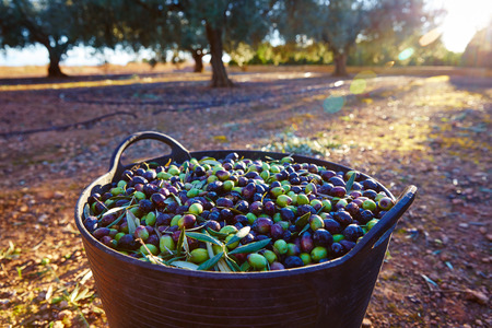 Olives harvest picking in farmer basket at Mediterranean