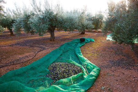 Raccolta delle olive raccolta con netto al Mediterraneo nel campo alberi d'oliva