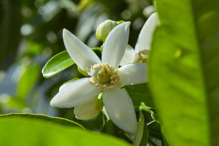 naranja arbol: flores de azahar en un árbol en la España mediterránea Foto de archivo