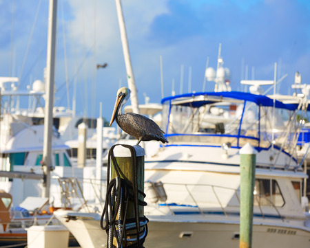 fort lauderdale: Fort Lauderdale Pelican bird in marina pole at Florida USA