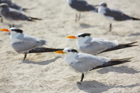 royal park: Royal Caspian terns sea birds in Miami Florida South beach USA