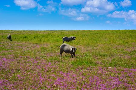 Cerdo iberico iberian pork in Dehesa Grasslands of Spain