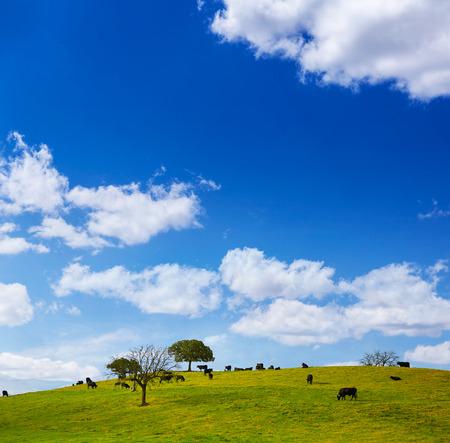 spanish bull: fighting bull grazing in Extremadura dehesa grasslands along Via de la Plata way of Spain