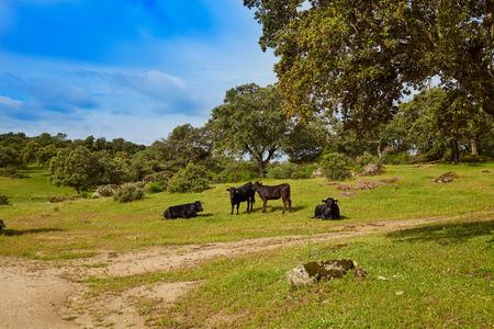 fighting bull grazing in Extremadura dehesa grasslands along Via de la Plata way of Spain