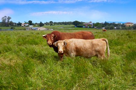 via: Extremadura cows in via de la Plata way at Spain