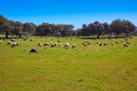 Via de la Plata way dehesa sheep grasslands in Extremadura of Spain