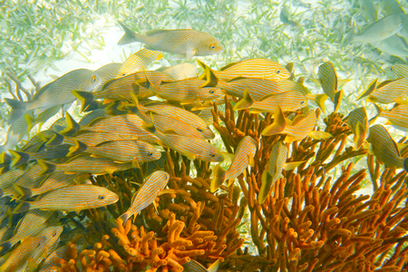 Mesoamerican barrier Great Mayan Reef grunt fishes in Riviera Maya Mexico