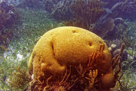 Brain coral Great Mayan Reef in Riviera Maya of Caribbean Mexico Stock Photo