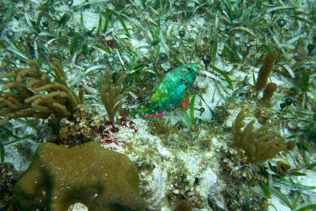great barrier reef marine park: Parrotfish fish in Great Mayan Reef at Riviera Maya of Caribbean Mexico Stock Photo