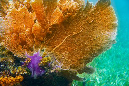 great barrier reef marine park: Gorgonian coral Great Mayan Reef in Riviera Maya of Caribbean Mexico Stock Photo