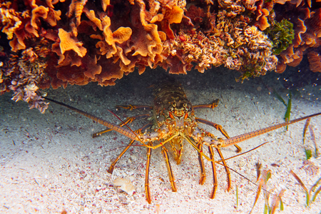 great barrier reef marine park: Lobster in Great Mayan Reef at Riviera Maya of Caribbean Mexico Stock Photo