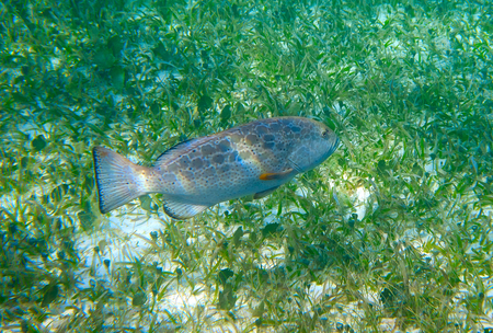 great barrier reef marine park: Grouper fish in Riviera Maya of Caribbean Mexico Stock Photo