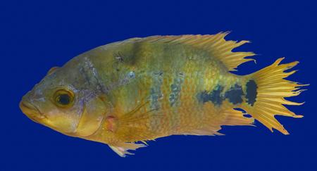 Cenote fish Cichlasoma urophthalmus of Cichlids family in Central America Stock Photo