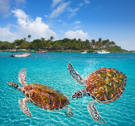 landscape: Akumal beach turtles photomount in Riviera Maya of Mayan Mexico