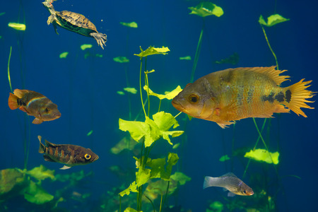 Cenote sinkhole Cichlids fishes in Riviera Maya of Mayan Mexico