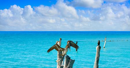 Isla Mujeres island Caribbean beach birds pelican of Riviera Maya in Mexico