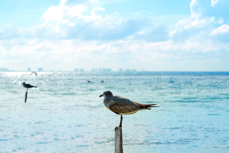 Isla Mujeres island Caribbean beach birds of Riviera Maya in Mexico Stock Photo
