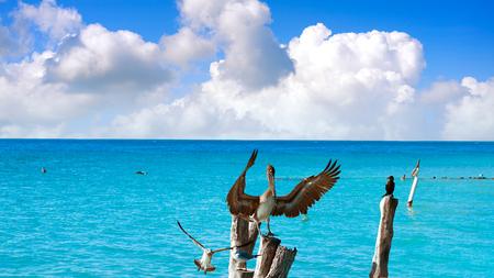 yucatan: Isla Mujeres island Caribbean beach birds pelican of Riviera Maya in Mexico