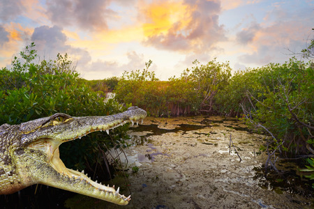 Mangroove crocodile photomount in Riviera Maya lagoon of Mexico
