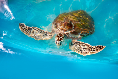 Turtles photomount in Caribbean water turquoise of Mexico Stock Photo