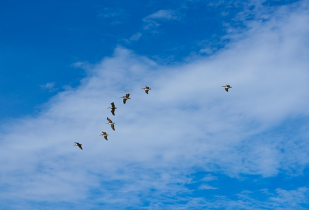 Pelicans flying together on blue sky in Mayan riviera of Mexico
