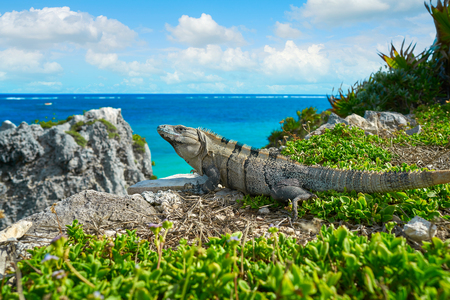 playa: Mexican iguana in Tulum with Caribbean sea of Riviera Maya Mexico