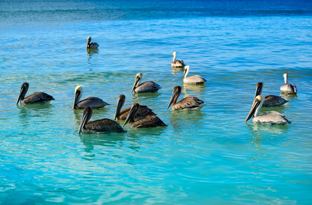 Pelican birds swimming in Caribbean beach of Mexico