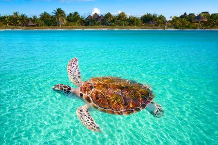 Holbox Island turtle photomount in Quintana Roo of Mexico