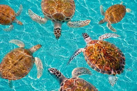 Riviera Maya turtles photomount on Caribbean turquoise waters of Mayan Mexico