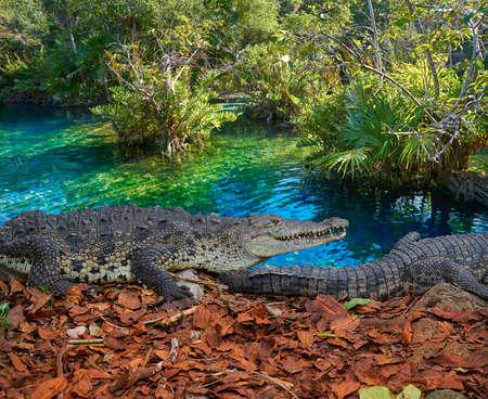 Crocodile in Mexico Riviera Maya lagoon photomount
