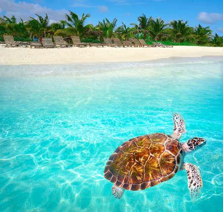 멕시코의 코스타 마야에 Mahahual 카리브 해변 거북 photomount 스톡 콘텐츠