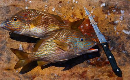 white grunt fish Haemulon plumieri in Caribbean at Mayan Riviera of Mexico