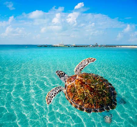 Turtles photomount in Caribbean Isla Mujeres of Mexico 스톡 콘텐츠