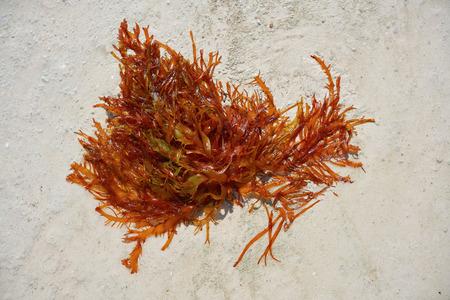 Algas Rodophyta rojas en Quintana Roo de México Foto de archivo
