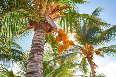 Tropical coconut palm trees in Caribbean Mexico Banque d'images