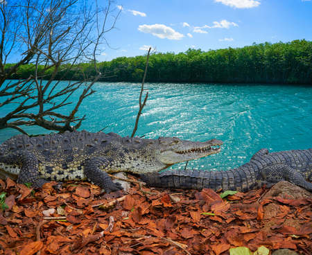 Crocodile in Mexico Riviera Maya mangroove photomount