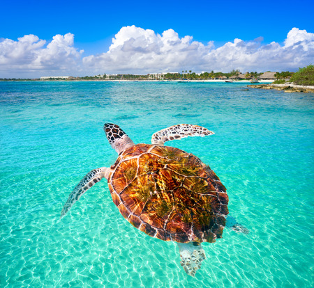 Akumal beach turtle photomount in Riviera Maya of Mayan Mexico
