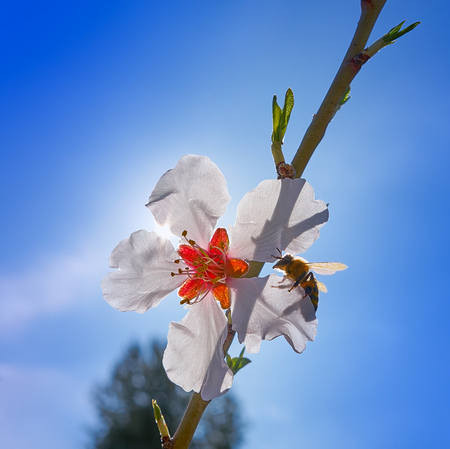 Almond flower tree with bee pollination in spring at Mediterranean Banque d'images