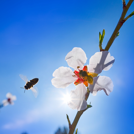 Almond flower tree with bee pollination in spring at Mediterranean Stock Photo