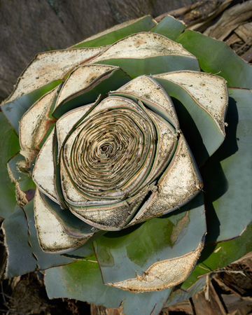 Agave pitera cut plant from mediterranean core without leaves