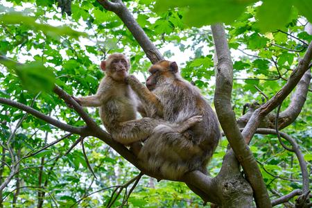 Barbary apes macaca sylvanus macaque monkeys outdoor Stock Photo