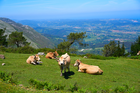 Asturias cow in high mountain and sea in background of Spain Stock Photo