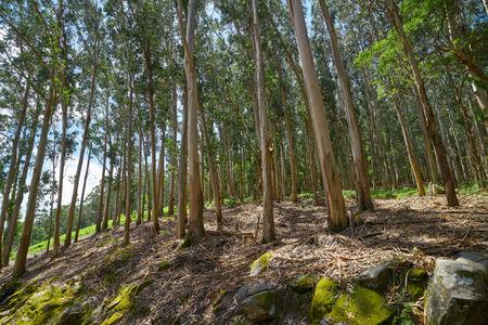 Foresta di eucalipti in Galizia in Spagna Archivio Fotografico